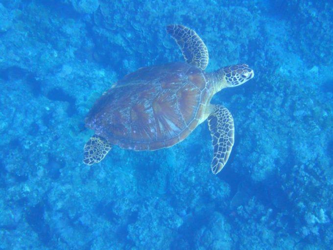 「關島出海遇見海龜」岸潛+海潛(2次潛水)